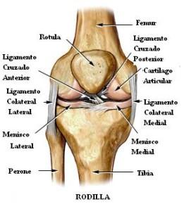 Anatomía rodilla